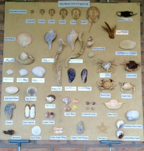 Display of Shore Life of Cape Cod