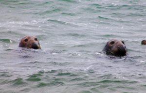 Gray seal at Coast Guard Beach
