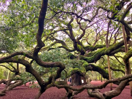 A view from underneath the sprawling tangled limbs of the Angel Oak Tree in Charleston, SC. The tree is estimated to be 400 years old. Some limbs are supported by long poles that appear to be similar to telephone poles. The Live Oak dies from the inside out. Although it can't be seen from the outside, some limbs are hollow.